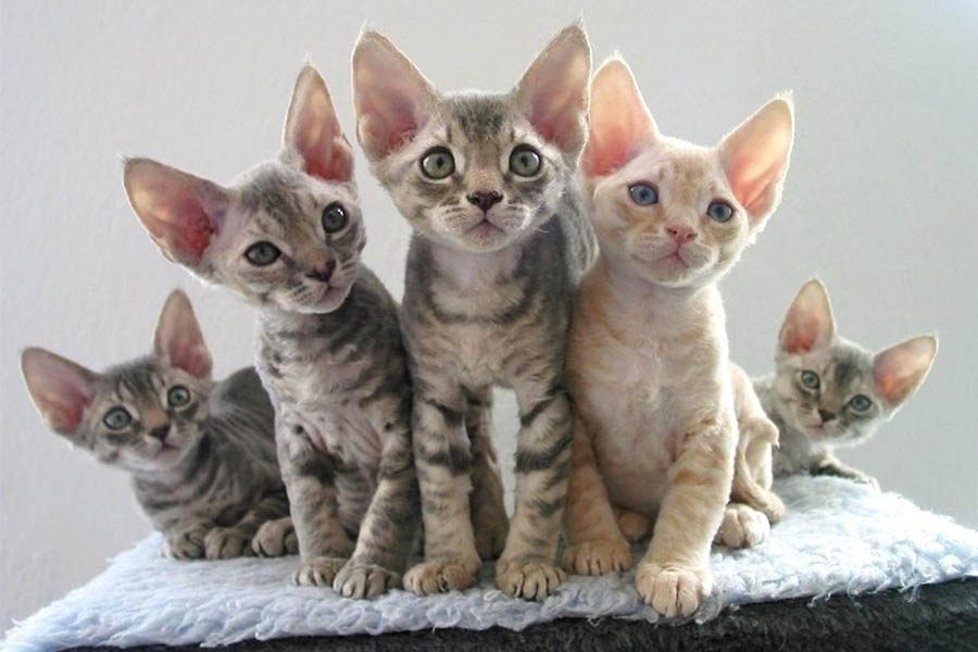 devon rex kittens