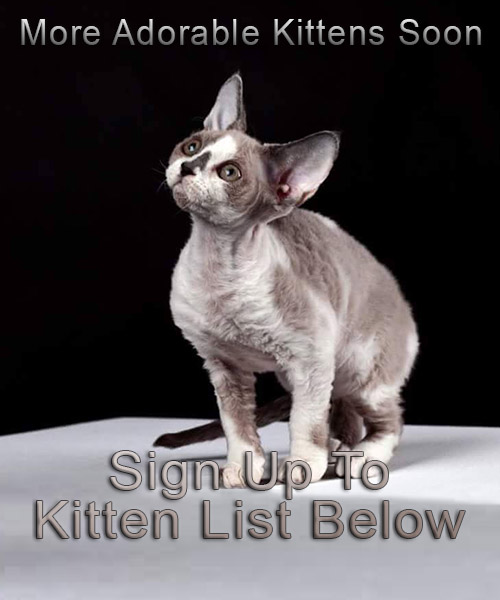 Devon Rex Kittens Soon